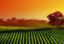 Плотность посадки винограда